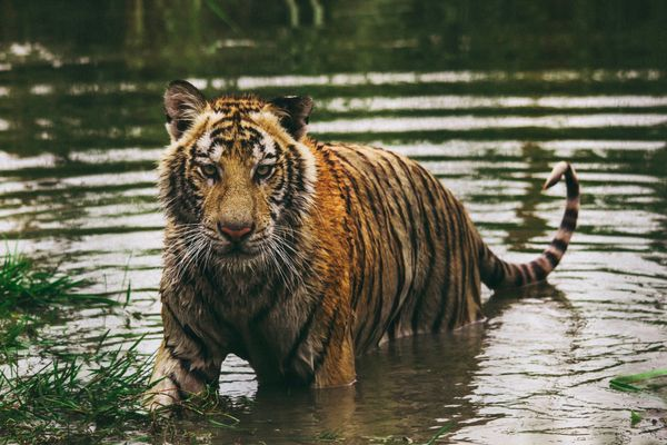 Protecting Asian Big Cats